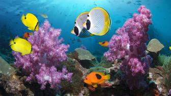 A pair of Panda butterflyfish (Chaetodon adiergastos), a pair of yellow butterflyfish (Chaetodon andamanensis)and a red saddleback anemonefish (Amphiprion ephippium) swimming past soft coral (Dendronephthya sp.) Andaman Sea, Thailand.