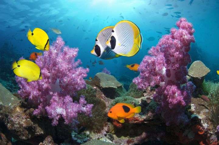 Panda butterflyfish, yellow butterflyfish and a red saddleback anemonefish swimpast soft coral in theAndaman Sea,