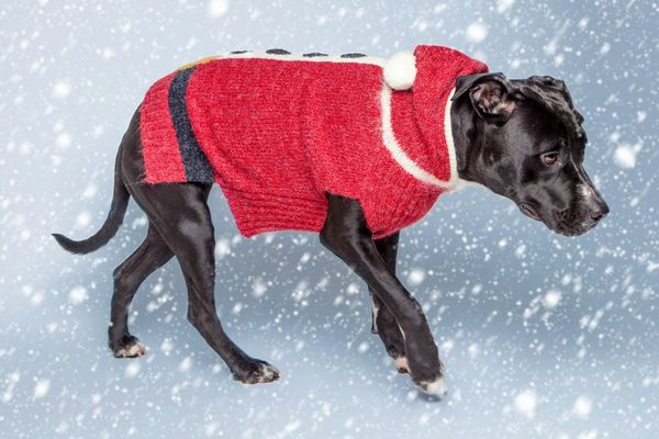 Terrific Taylor is a 3-year old Pit Bull + Lab mix with a sweet, spunky energy. This 2 year old girl has gorgeous black