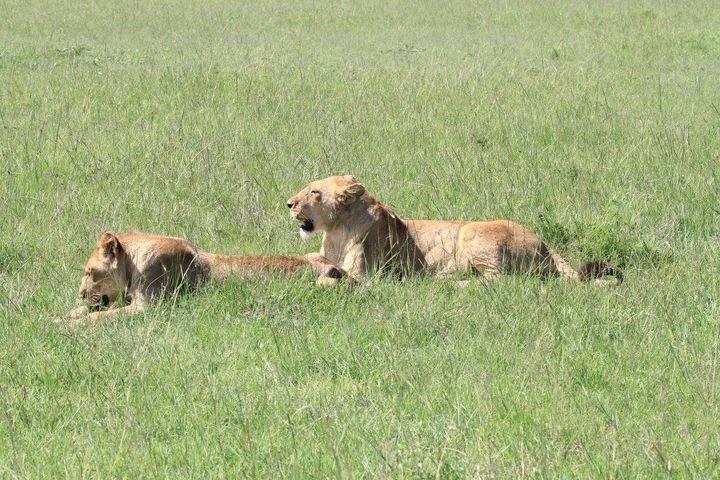 Marsh Pride lions Charm and Alan.