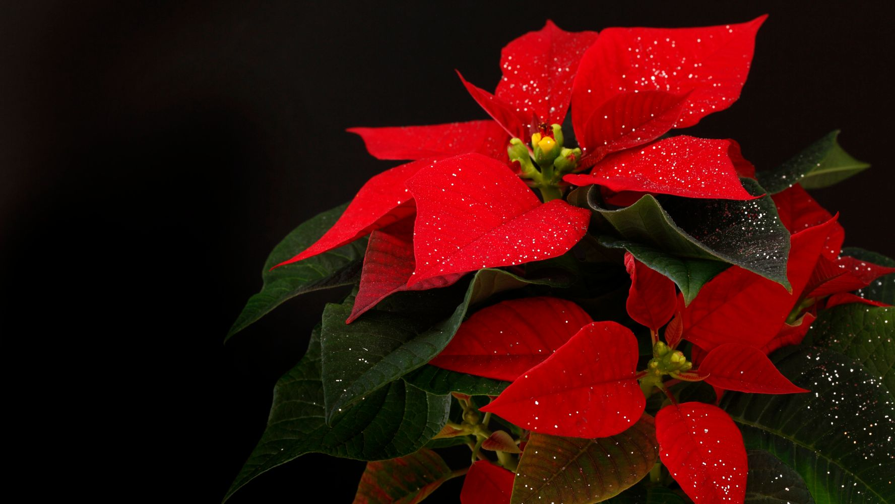 Are Poinsettias Poisonous Here S What You Need To Know Huffpost Life
