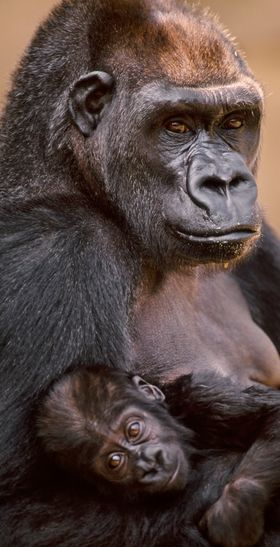 """No other primate has a permanent breast,"" writer Carole Jahme (who holds a master's degree in evolutionary psychology) expla"