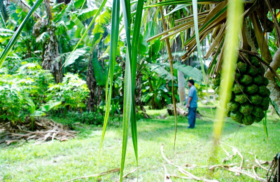 Steve Lepton on a farm in Laura in the Marshall Islands