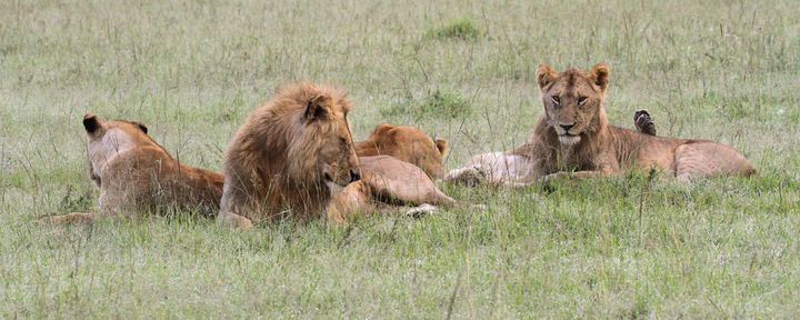 Several members of the Marsh Pride lay near the body of Alan, a lion who was poisoned in a retribution attack.