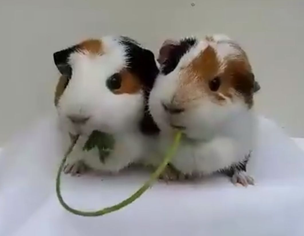 2 Guinea Pigs Share A Healthy Snack Like 'Lady And The Tramp'