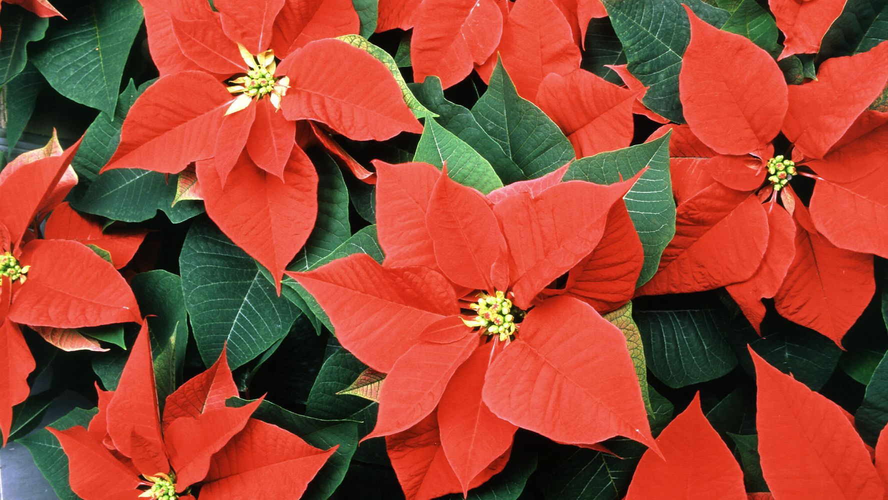 How Often You Should Water Poinsettias Huffpost Life