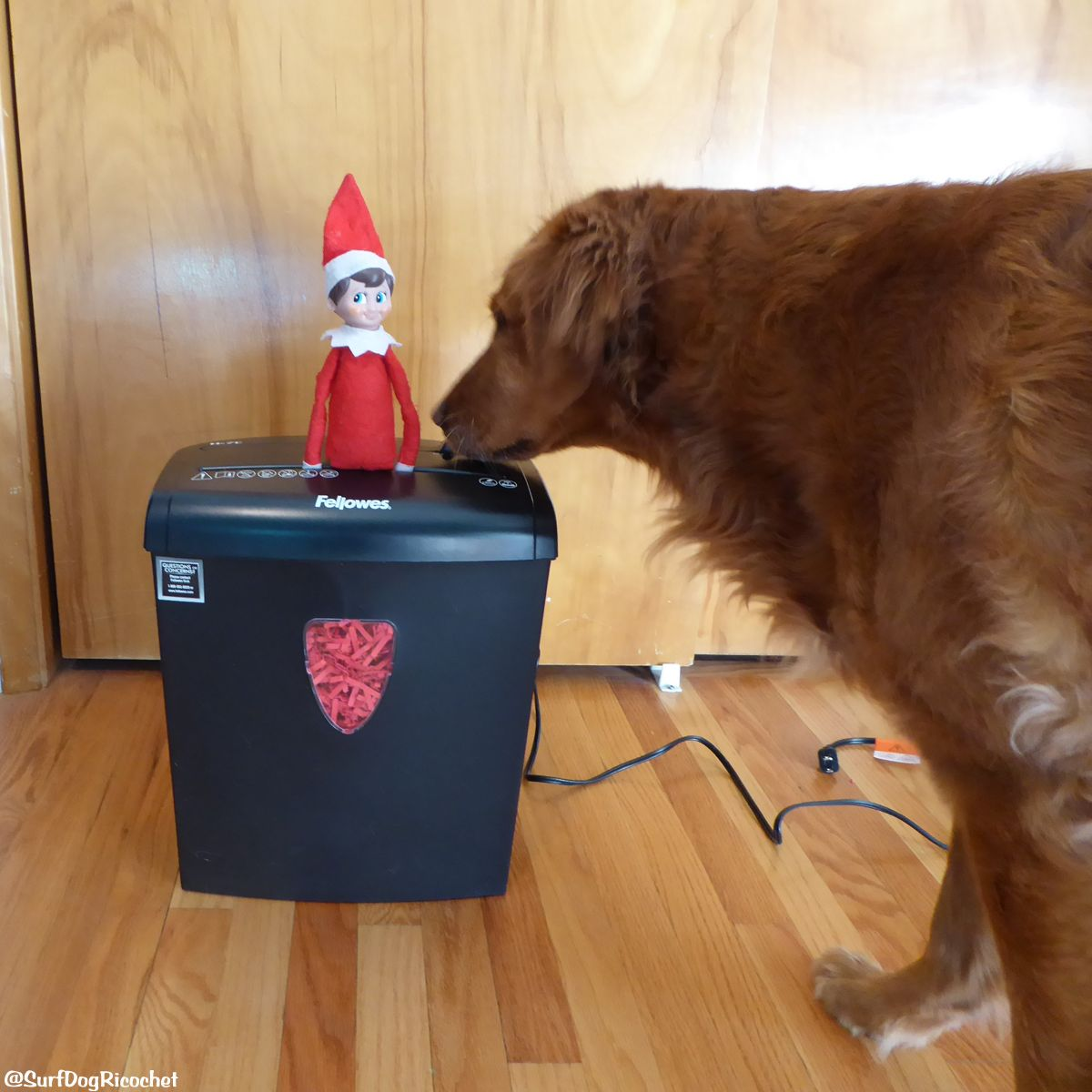 Surf Dog Ricochet and the Elf on the Shelf