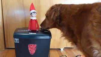 Surf Dog Ricochet and the Elf on the Shelf