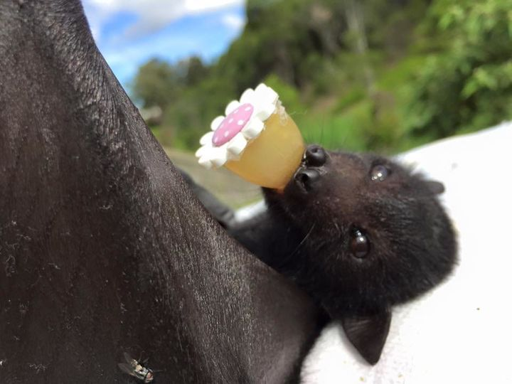 This Fruit Bat Is An Important Part Of The Ecosystem She Also Enjoys Belly Rubs Huffpost