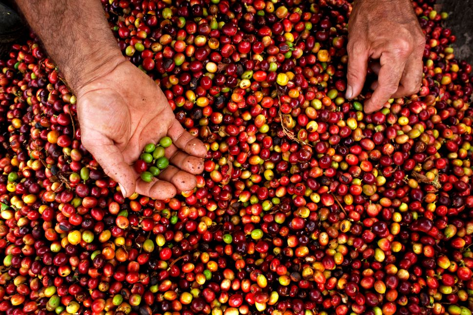Coffee growers are the most vulnerable link in the production chain.