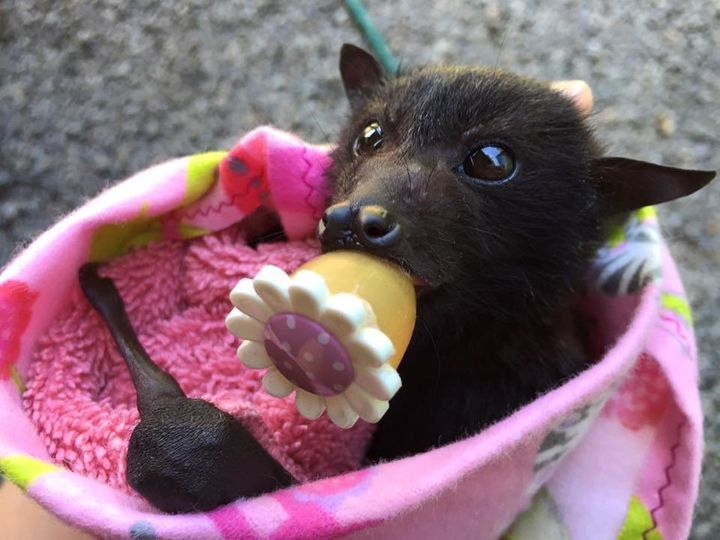 This Fruit Bat Is An Important Part Of The Ecosystem. She ...