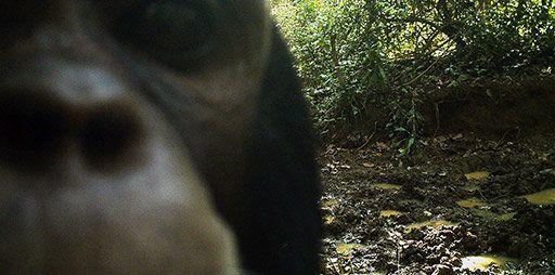 A chimpanzee selfie.
