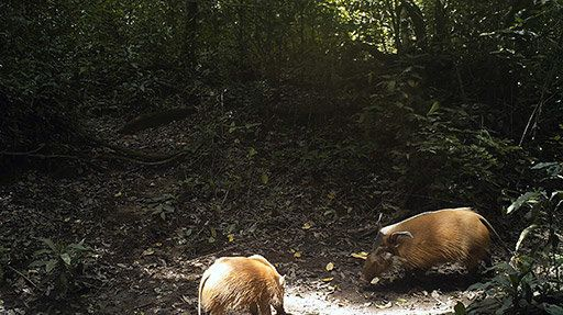 Red river hogs.