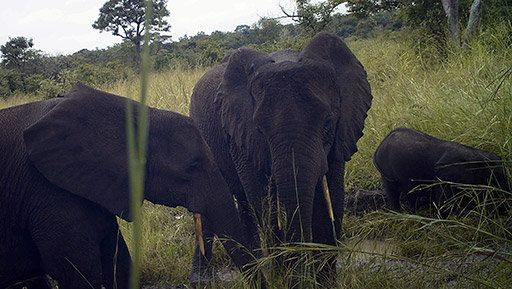 Rare forest elephants.