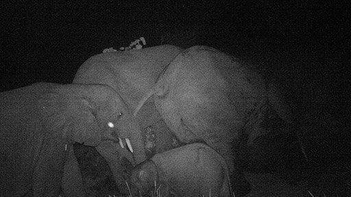 Forest elephants at night.