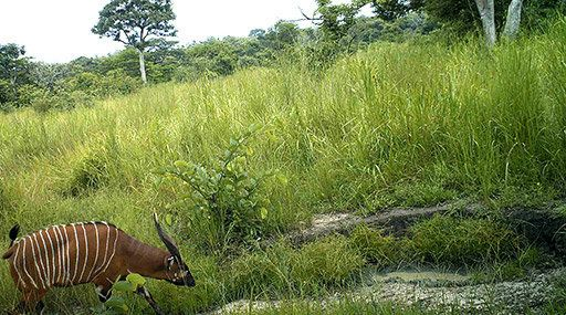 A bongo, a type of African antelope.