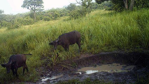 Forest buffalo.