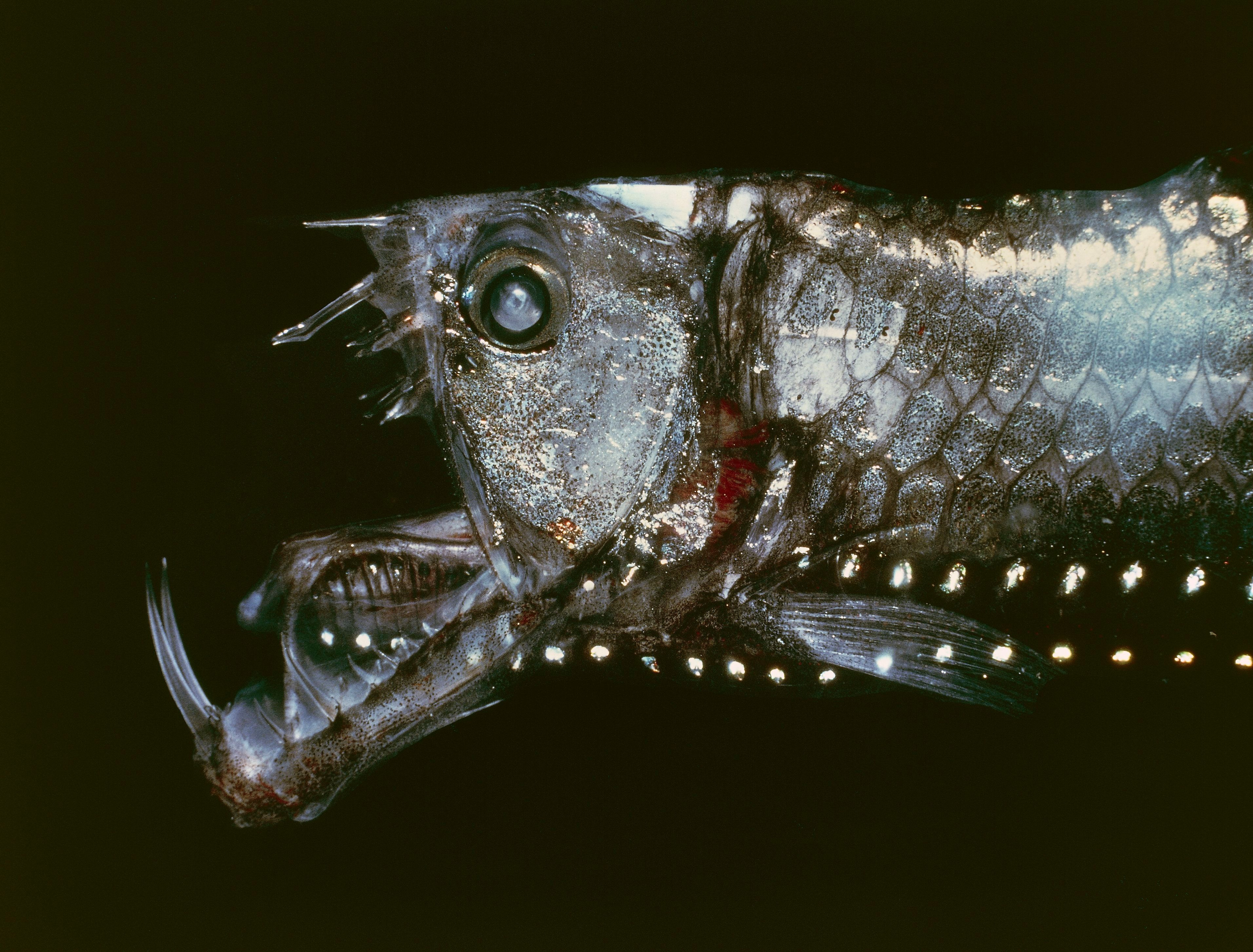 UNSPECIFIED - CIRCA 2002: Manylight Viperfish or Sloane's viperfish (Chauliodus sloani), Stomiidae. (Photo by DeAgostini/Getty Images)