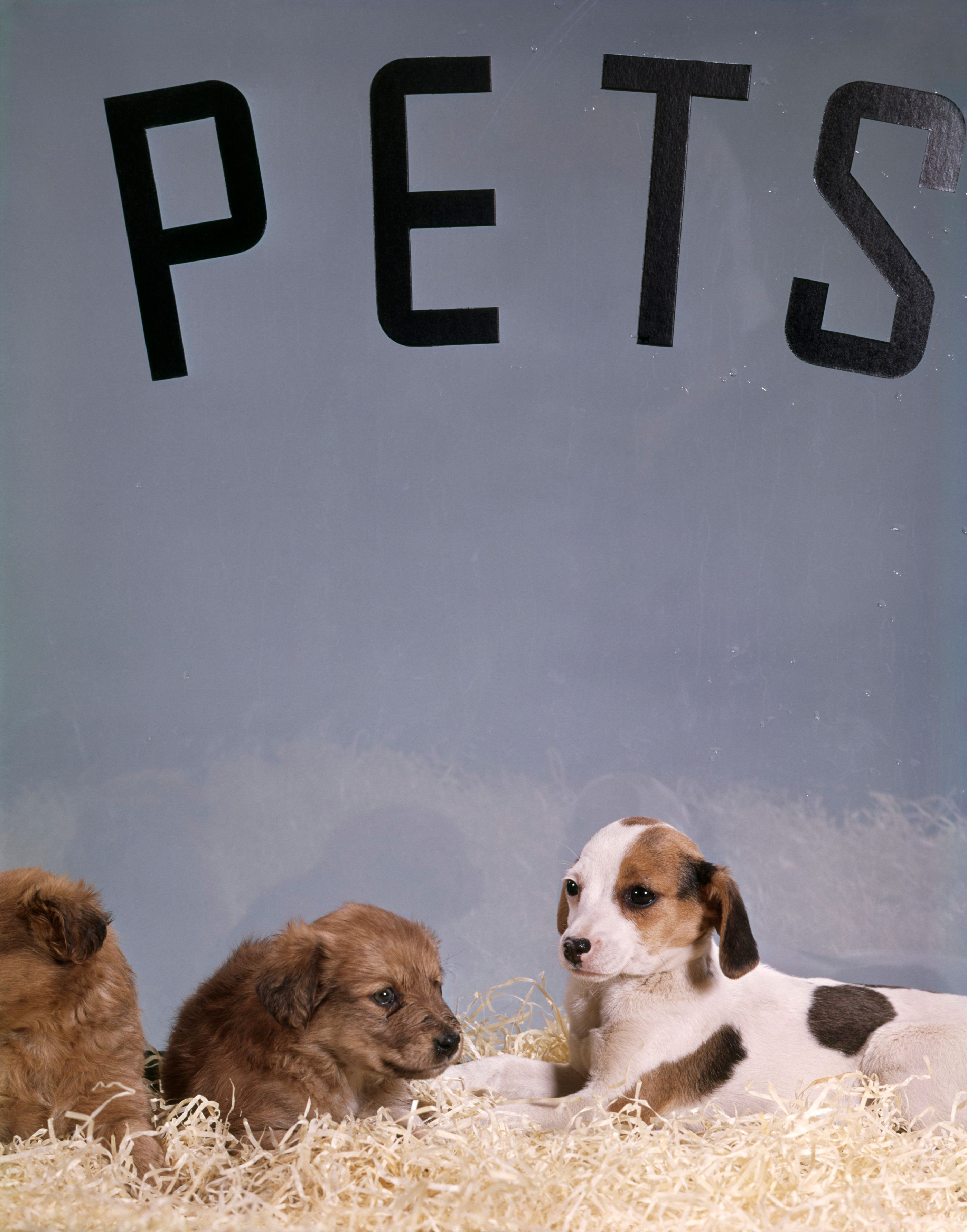 1960s PUPPY DOGS FOR SALE IN PET STORE WINDOW  (Photo by H. Armstrong Roberts/ClassicStock/Getty Images)