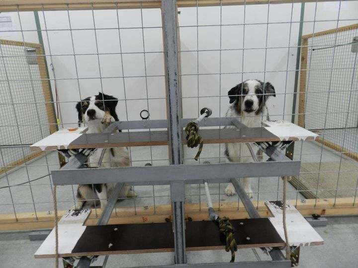 Two dogs are seen during a behavioral experiment in Vienna. A donor dog, right, is able to choose whether the dog on the left