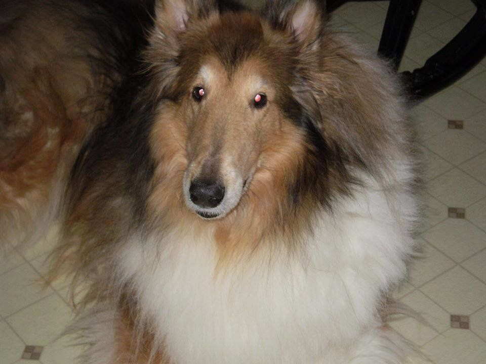 Scott Niles wants to know what happened to his purebred Collie, Rusty.