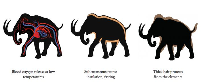 "Building a mammoth out of an Asian elephant begins with three major adaptations.<a href=""http://longnow.org/revive/wp-content"