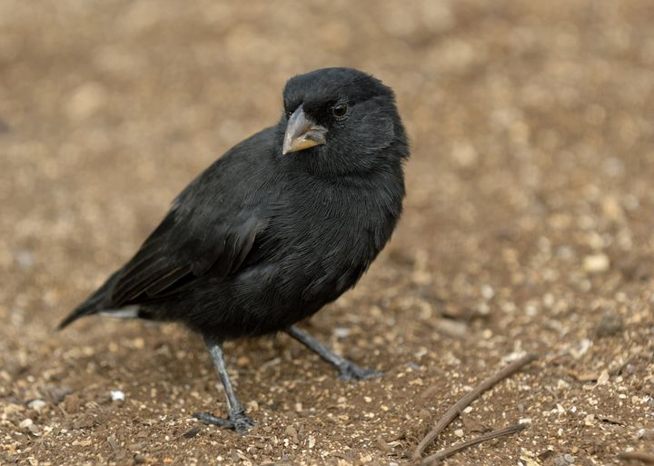 One of Darwin's finches in the Galapagos.