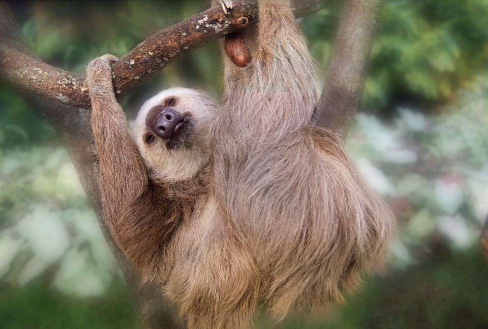 Three-toed sloth hanging in a tree