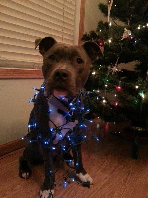 Pit Bulls Dressed In Holiday Clothes Make Us Believe In Santa Paws ...
