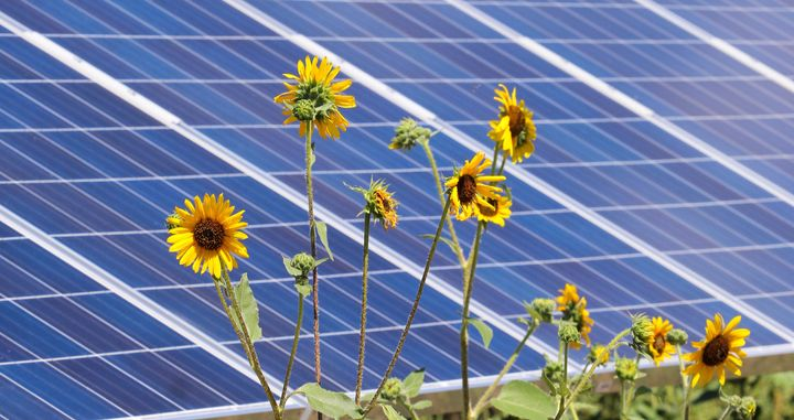 Sunflowers and solar panels share the sun's rays at Pikes Peak Solar Garden in Colorado Springs.