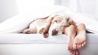 Dog sleeping in bed alongside master's feet