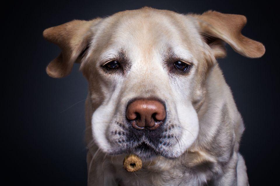 Vieler's favorite model, Lotte his Labrador.