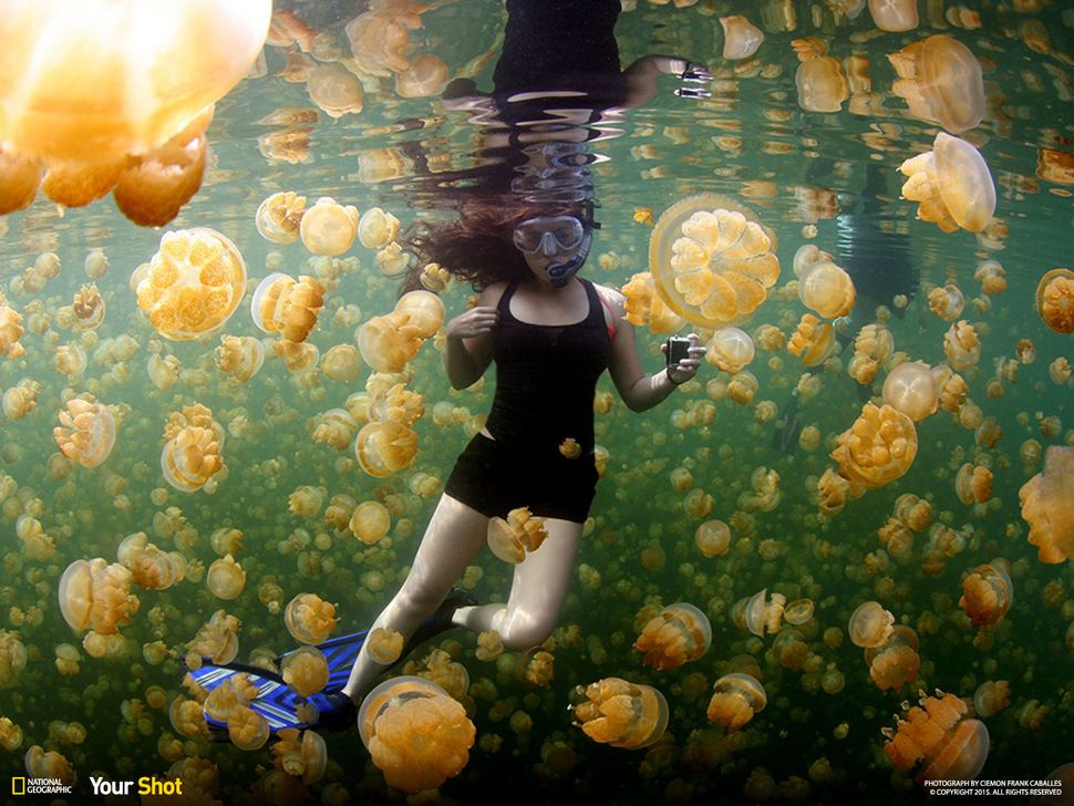 The residents of Jellyfish Lake on Eil Malk—one of the Rock Islands of Palau—surround a snorkeler in their midst.