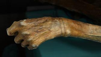 This bracelet-like tattoo adorns the wrist of the 5,300-year-old Iceman.