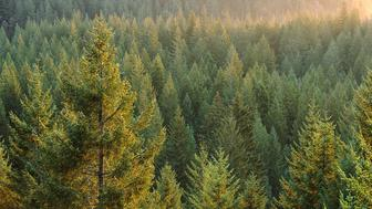 nature scenes,color,horizontal,exterior,outside,light,day,center,conifer,forest,sunset,oregon,nature,treetop,point,shrub,pine,dense,thick,evergreen,wood,green,yellow,brown