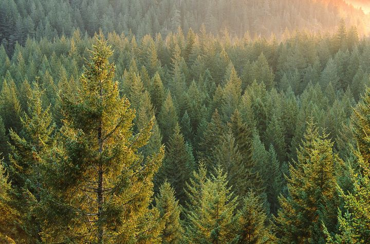 According to a recent study, unchecked climate change could kill off almost all needleleef evergreen trees in the Southwest U
