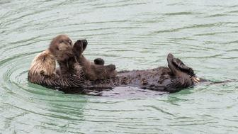 A new otter mom appears to kiss its newborn's head while floating in a tide pool.
