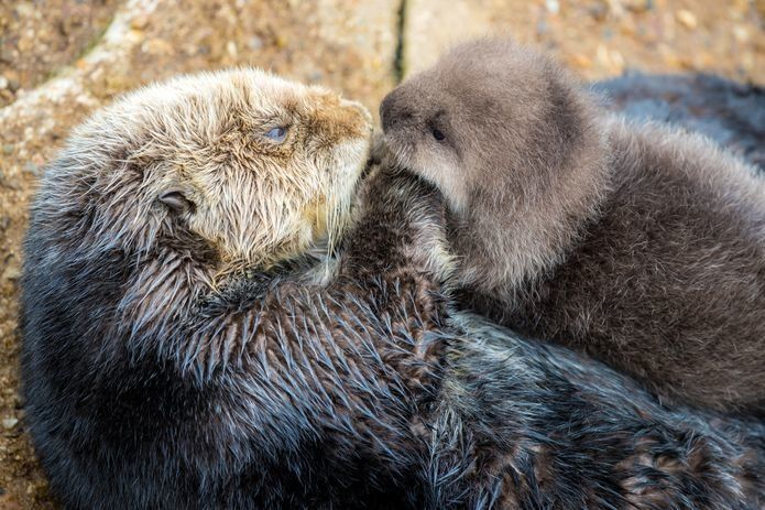A wild otter is seen enjoying some of her first moments with her newborn after giving birth outside of California's Monterey
