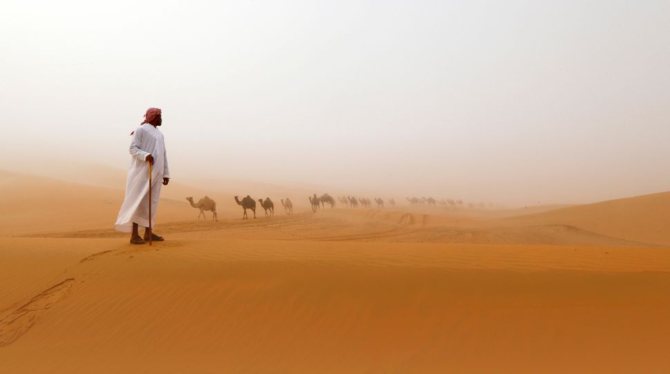Camels walk along sand dunes during the Mazayin Dhafra Camel Festival near the United Arab Emirates city of Madinat Zayed on
