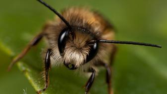 Red mason bee, Osmia rufa