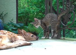 Kitten Will Do Whatever It Takes To Get Baby Deer's Attention