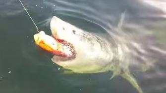 A great white shark is seen polishing off what remains of a red snapper off Florida's northeast coast on Saturday.