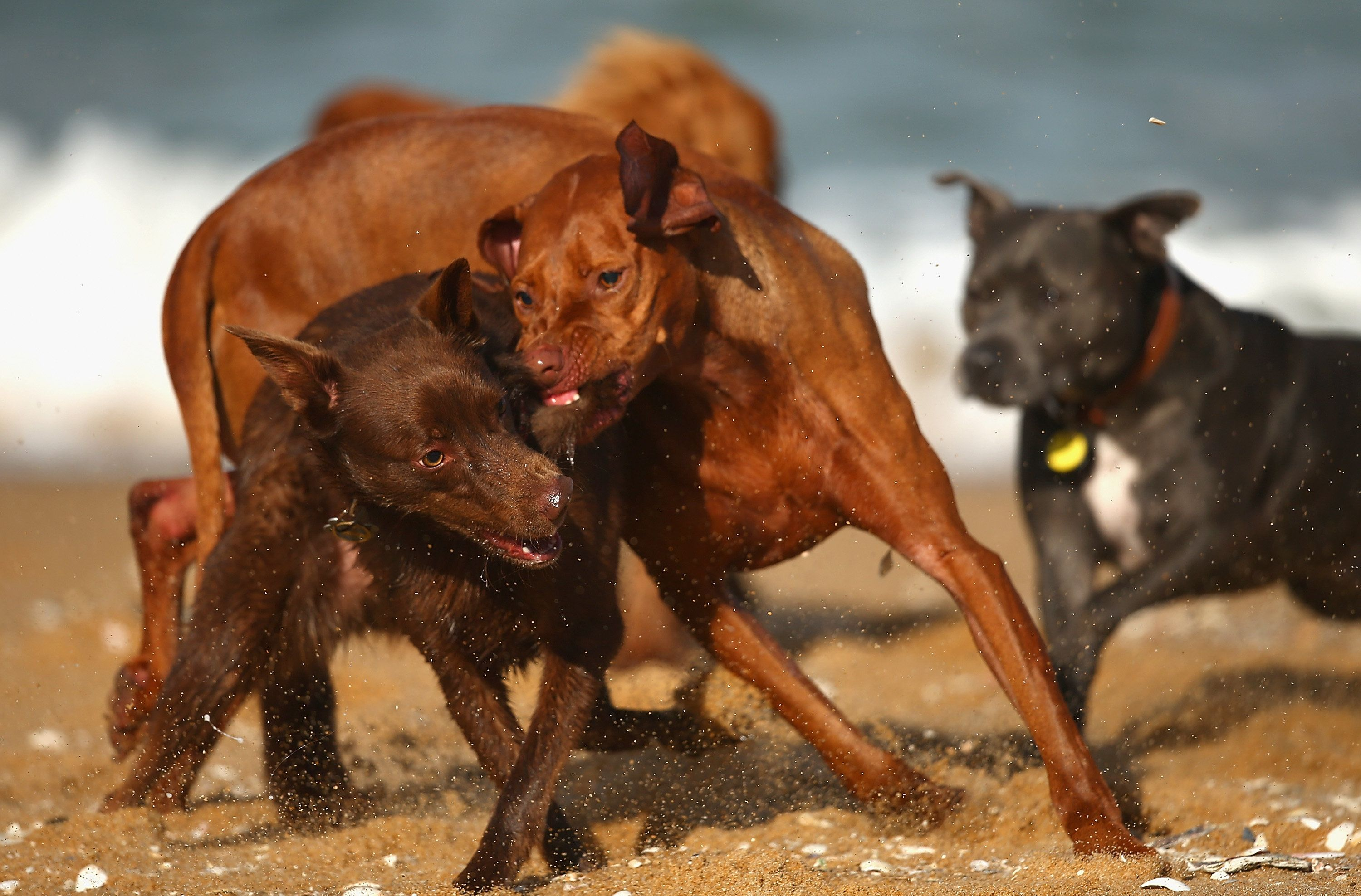 MELBOURNE, AUSTRALIA - JUNE 01:  The Saints player's dogs fight on the beach during a St Kilda Saints recovery session at Brighton Beach on June 1, 2015 in Melbourne, Australia.  (Photo by Quinn Rooney/Getty Images)