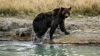 A female Grizzly bear exits Pelican Creek October 8, 2012 in the Yellowstone National Park in Wyoming.Yellowstone National Park is America's first national park. It was established in 1872. Yellowstone extends through Wyoming, Montana, and Idaho.  The park's name is derived from the Yellowstone River, which runs through the park.  AFP PHOTO/Karen BLEIER        (Photo credit should read KAREN BLEIER/AFP/GettyImages)