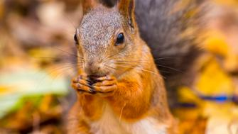 squirrel sitting in the leaves and eats in the autumn forest