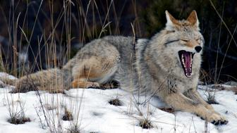 An adult coyote laying down yawning mouth open showing teeth. (Photo by: Universal Education/Universal Images Group via Getty Images)