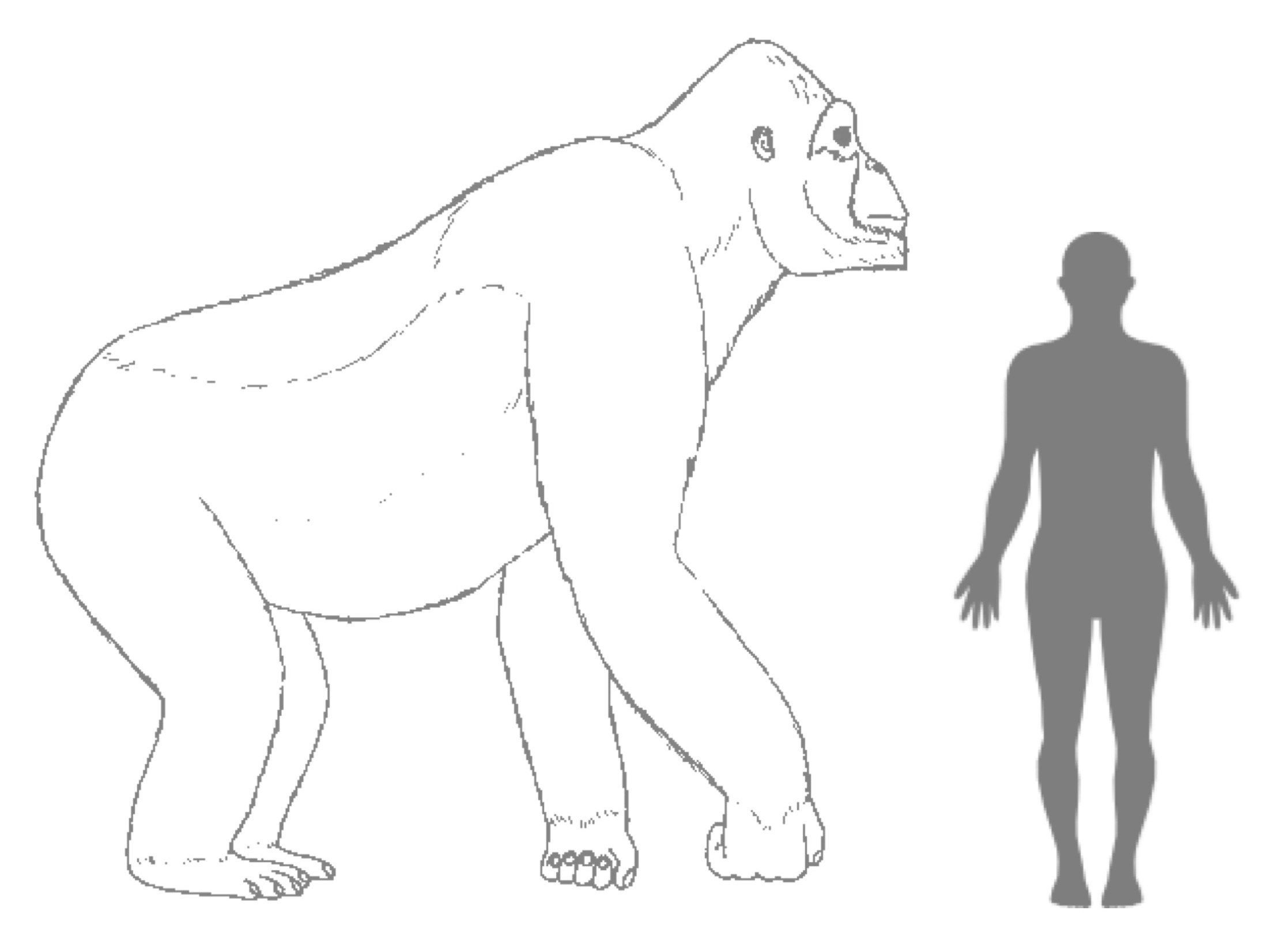 Mystery solved?Scientists think they now know what killed off theGigantopithecus,which has been described a