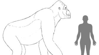 Gigantopithecus compared to a modern human.