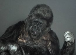 Koko The Gorilla Probably Doesn't Understand Climate Change