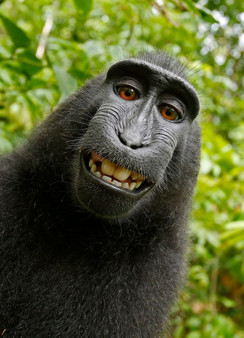 Who owns the copyright tothis monkey-snapped selfie? The question has sparked a heated debate.